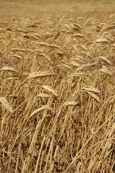 Colheita de fiels secos de trigo de agricultura