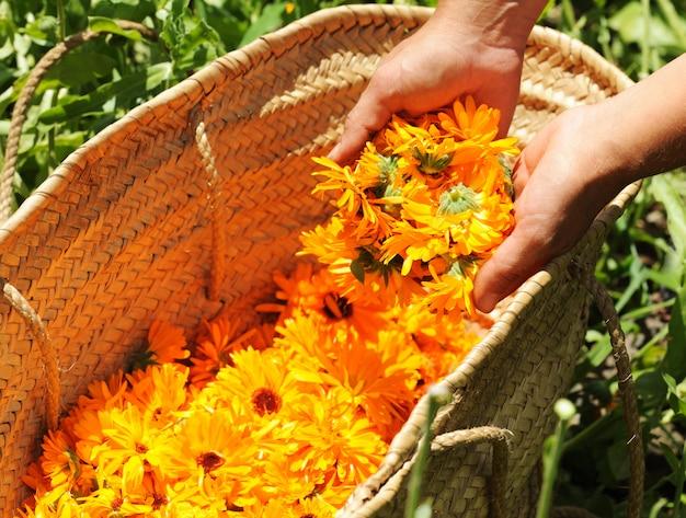 Colheita de flores de calêndula
