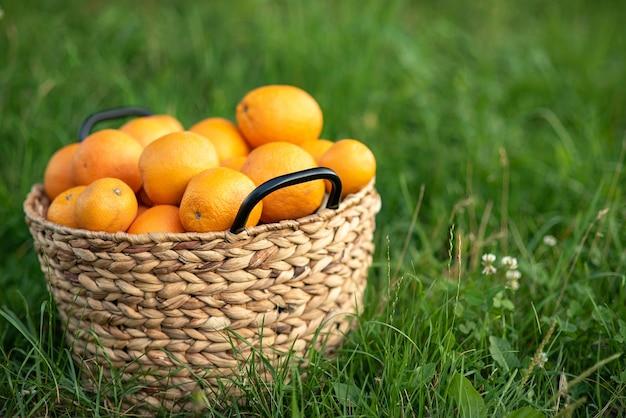 Colheita de laranjas frescas na cesta na grama verde.