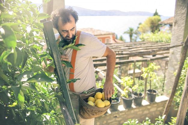 Colheita de limão em um dia ensolarado
