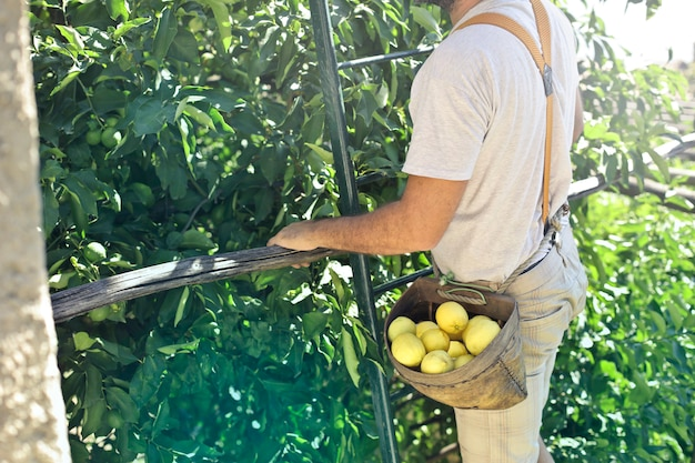 Colheita de limão no verão