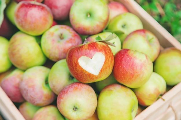 Colheita de maçãs em uma caixa em uma árvore no jardim