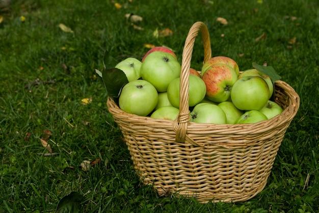 Colheita de maçãs maduras em uma cesta na grama