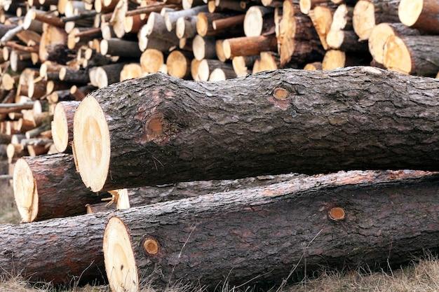 Colheita de madeira de pinheiros - serrada e empilhada em uma pilha de troncos de pinheiro durante a sua colheita. fechar-se.