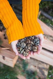 Colheita de mãos mostrando cones de coníferas