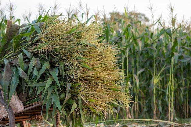 Colheita de milho, colheitadeira de milho na fazenda.