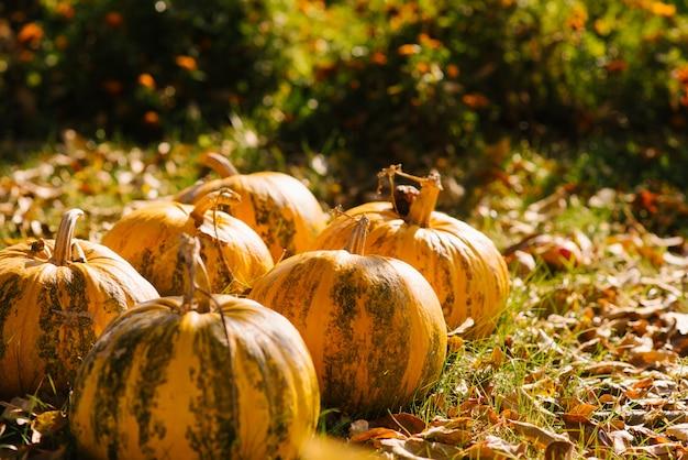 Colheita de outono de fundo amarelo abóbora, cópia espaço
