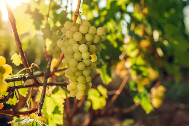 Colheita de outono de uvas de mesa na fazenda ecológica. uvas de prazer verde pendurado no jardim. colheita