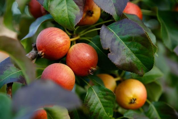 Colheita de peras maduras pendurada em uma árvore no outono