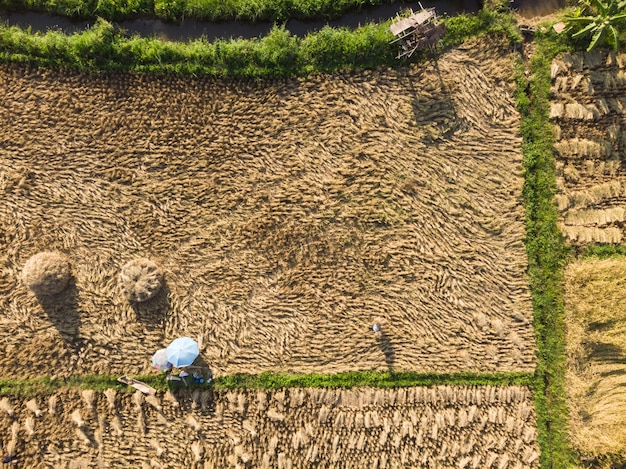 Colheita de plantas de arroz seco e coleta