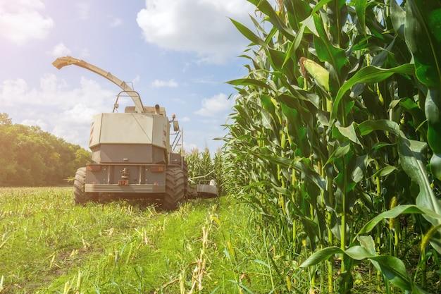 Colheita de silagem de milho suculenta por colheitadeira e transporte por caminhões
