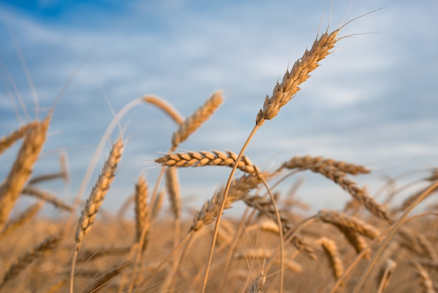 Colheita de trigo. campo.