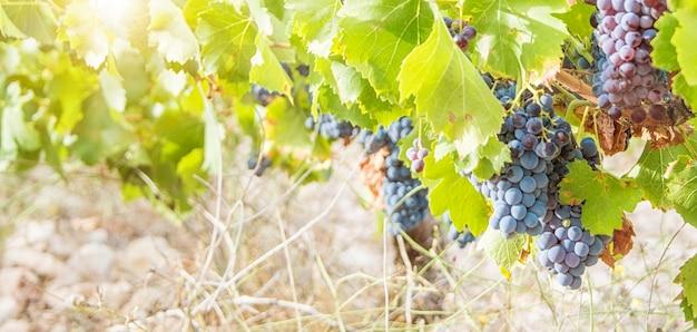 Colheita de uvas. clusters de uvas para vinho exuberantes pendurados na videira.