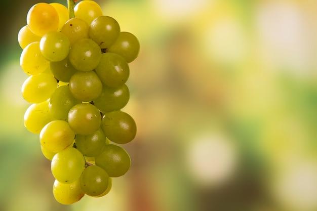 Colheita de uvas na mão do agricultor