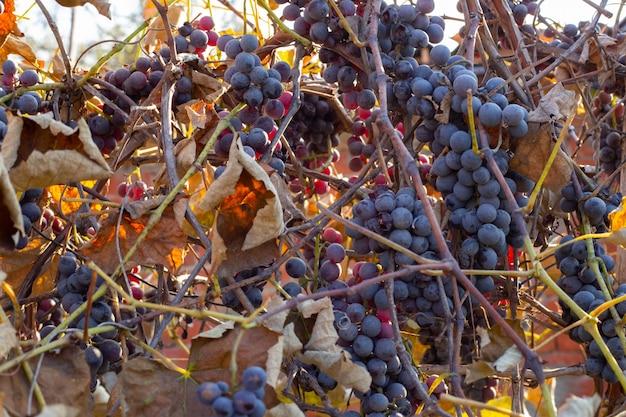 Colheita de uvas no final do outono. cachos pretos de uvas maduras e folhas secas da videira.