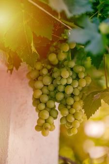 Colheita de uvas verdes e azuis. campos vinhas amadurecem uvas para vinho