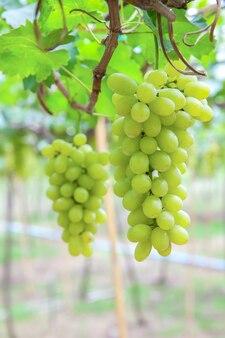 Colheita de vinhas verdes.