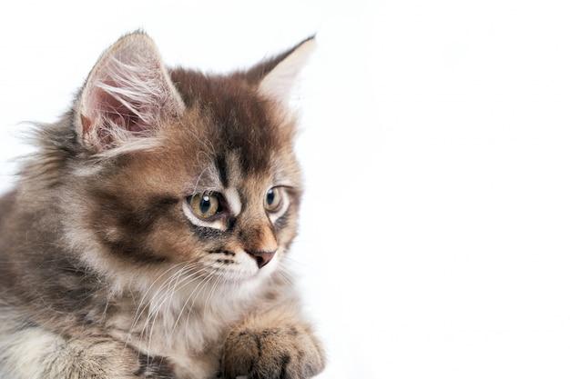 Colheita do gatinho cinzento isolado no branco.