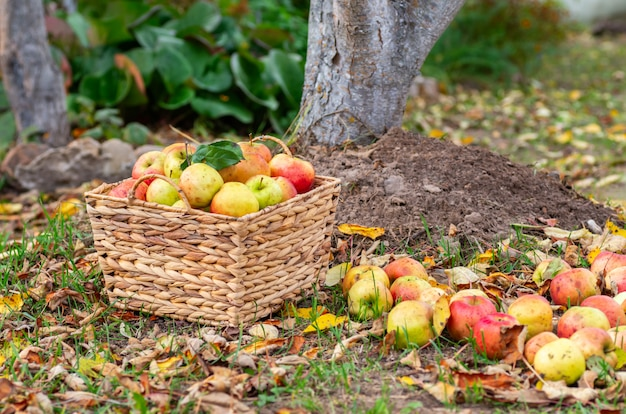 Colheita do outono das maçãs no jardim. maçãs maduras em uma cesta de vime.