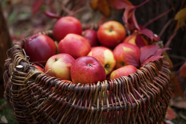 Colheita fresca de maçãs. jardinagem de outono.