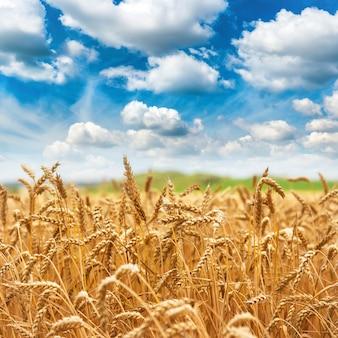 Colheita fresca do campo de trigo dourado e céu azul com nuvens