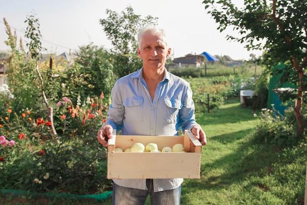 Colheita: maçãs brancas em caixa de madeira. produtos prontos para exportação. importação de produtos sazonais. um homem idoso segura uma caixa. o jardineiro aproveita os frutos de seu trabalho