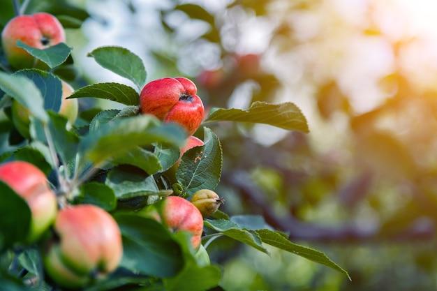 Colheita: maçãs vermelhas em uma árvore no jardim. os produtos estão prontos para exportação. importação de produtos sazonais.