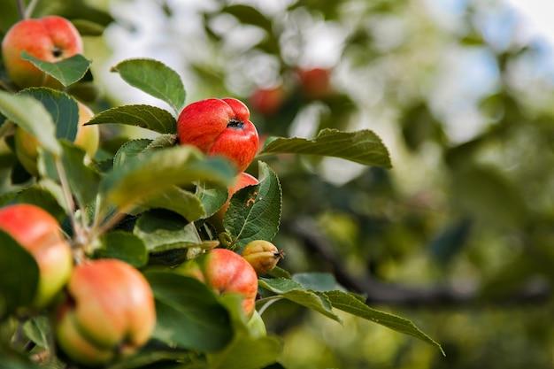 Colheita: maçãs vermelhas em uma árvore no jardim. os produtos estão prontos para exportação