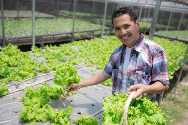 Colheita masculina da fazenda hidrofônica