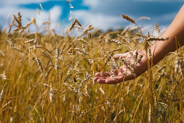 Colheita: o trigo maduro cresce no campo. grão dourado e close-up da mão