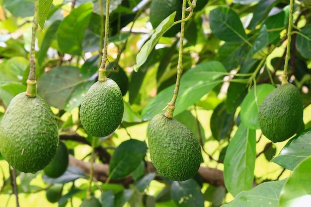 Colheita sazonal de abacate orgaic verde, abacates verdes tropicais, amadurecendo na grande árvore close-up