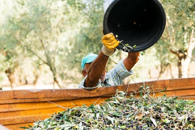 Colheita verde-oliva em salento, puglia, itália.