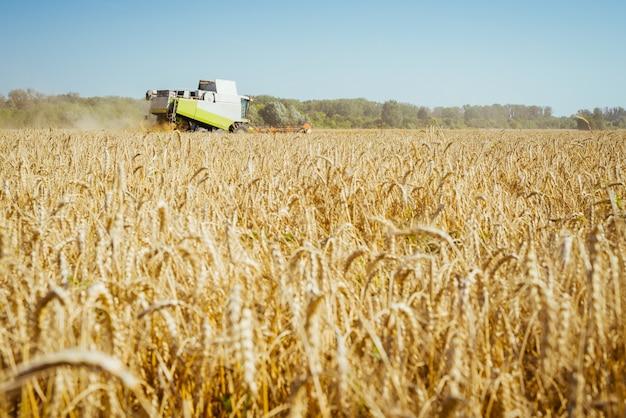 Colheitadeira colhe as colheitas de trigo maduro espigas maduras do campo de ouro no céu nublado de laranja do pôr do sol