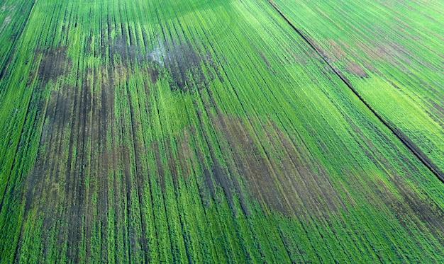 Colheitas danificadas no campo. devido a más condições de criação, solo pobre ou doenças. colheitas agrícolas doentes.