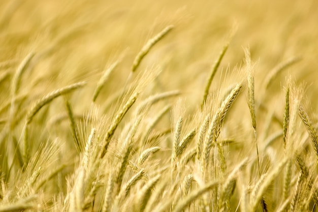 Colheitas de trigo plantam campo no verão. profundidade de campo Foto Premium