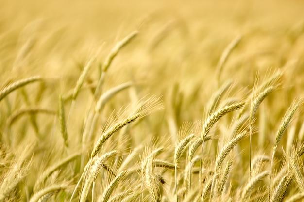 Colheitas de trigo plantam campo no verão. profundidade de campo