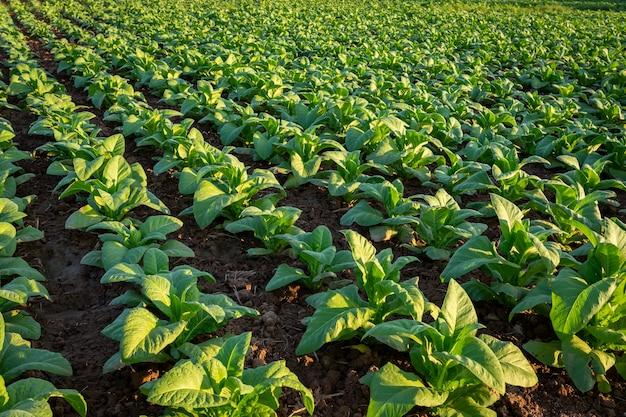Colheitas grandes da folha do tabaco que crescem no campo da plantação de tabaco.