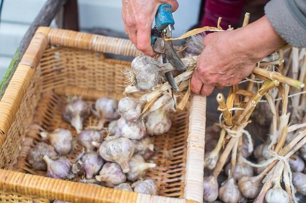 Colhendo alho para o inverno conceito de agricultura alimentos saudáveis e frescos cortando o caule do bulbo