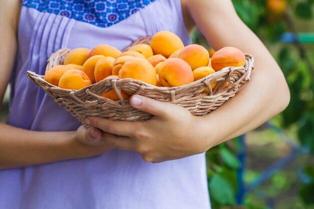 Colhendo damascos. cesta da terra arrendada da menina com frutas.