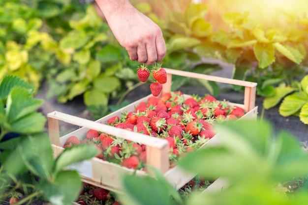 Colhendo deliciosos morangos orgânicos
