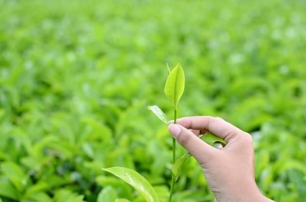 Colhendo folhas de chá em um fundo desfocado