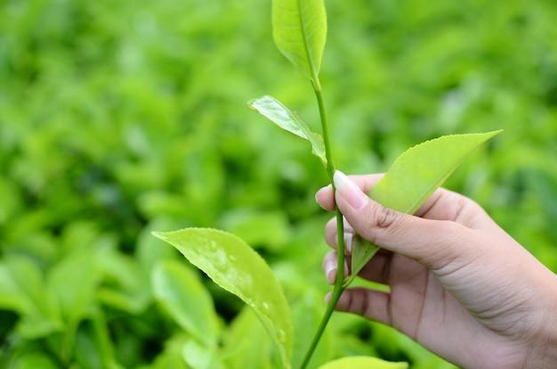 Colhendo folhas de chá em uma plantação de chá
