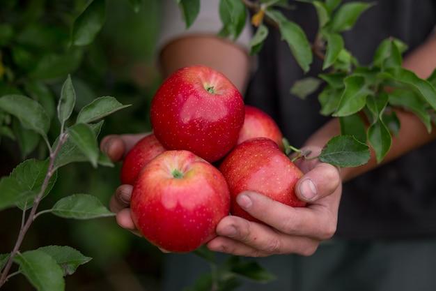 Colhendo frutas no pomar