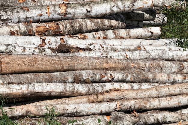 Colhendo madeira de bétula na floresta, temporada de verão