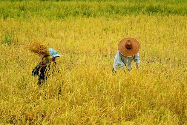Colhendo plantas de arroz manualmente com o reapinghook - o método tradicional de cultivo de arroz na tailândia