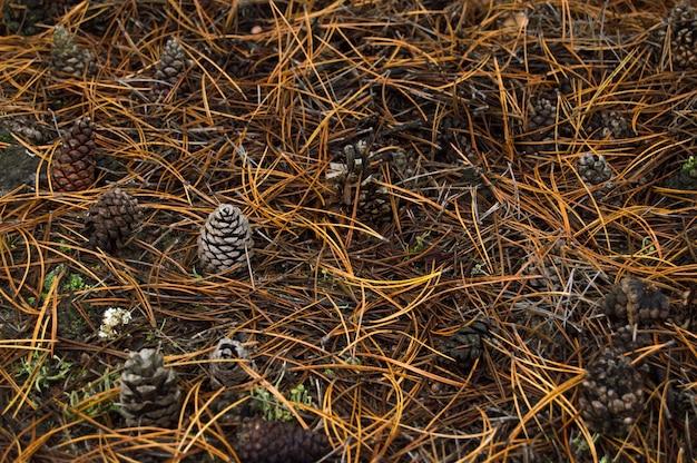 Colisão de pinheiros na floresta entre agulhas de pinheiro