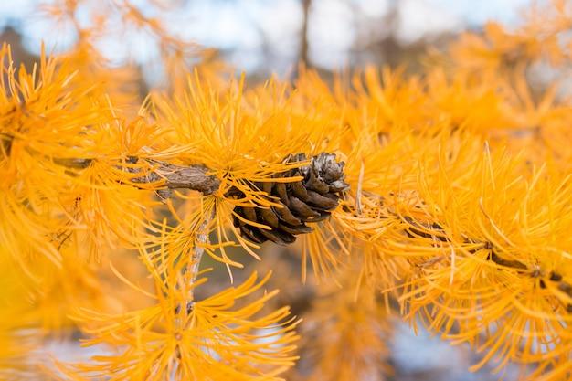 Colisão no fundo do foco seletivo de larício de outono