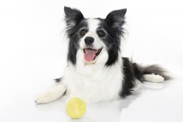 Collie bonito bonito que senta-se com sua bola de ténis isolada no fundo branco