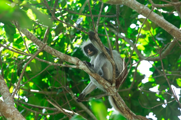 Colobus vermelho piliocolobus kirki macaco na madeira deposta, floresta jozani, zanzibar, tanzânia