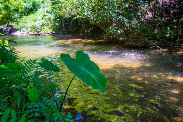 Colocasia esculenta folha, vulgarmente conhecida folha de taro perto do rio na floresta